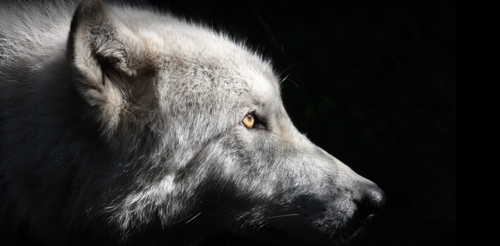 Shy Wolf Sanctuary is a Lifeline to Direwolf Fans and Many More